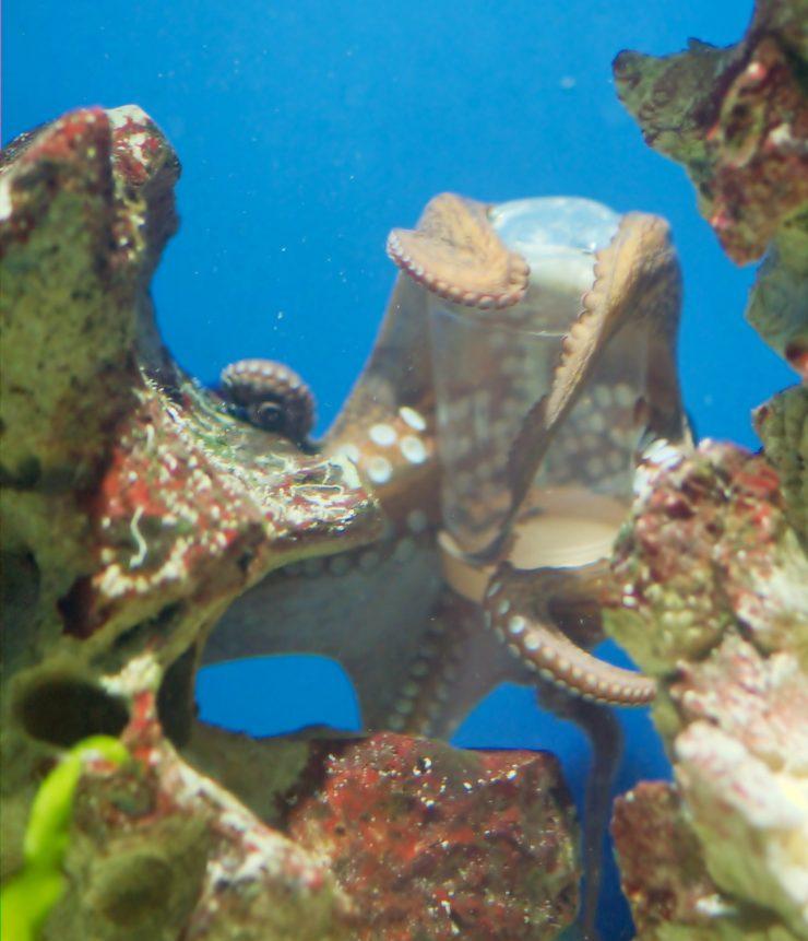 Hobotnica odpira posodo. Foto: Matthias Kabel/Wikimedia/CC