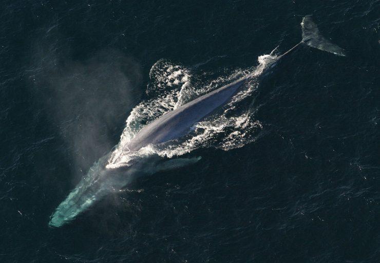 Sinji kit. Vir: NOAA/Wikimedia