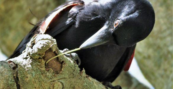 Vrana. Foto: James St Clair