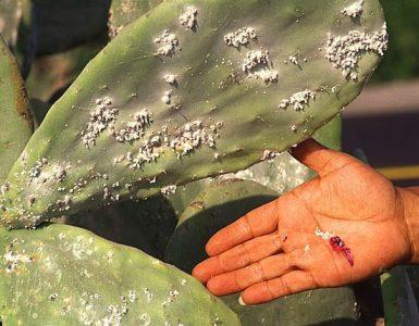 Karmin pridobivajo iz košeniljke. Vir: Wikimedia