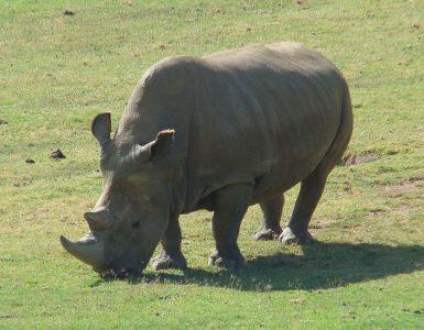 Severni beli nosorog Anglaifu. Vir: Wikipedia