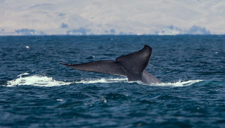 Sinji kit. Vir: Wikipedia