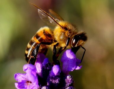 Čebelica in prvi svetovni dan čebel.. Vir: Pixaby