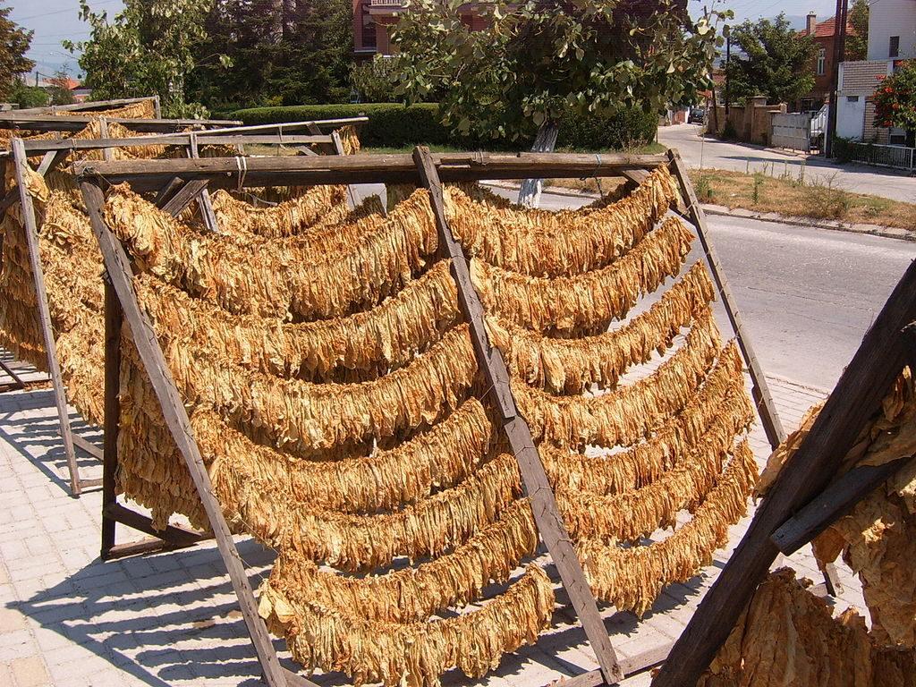 Sušenje tobaka v Prilepu. Foto: Nenad Bumbić/Wikipedia