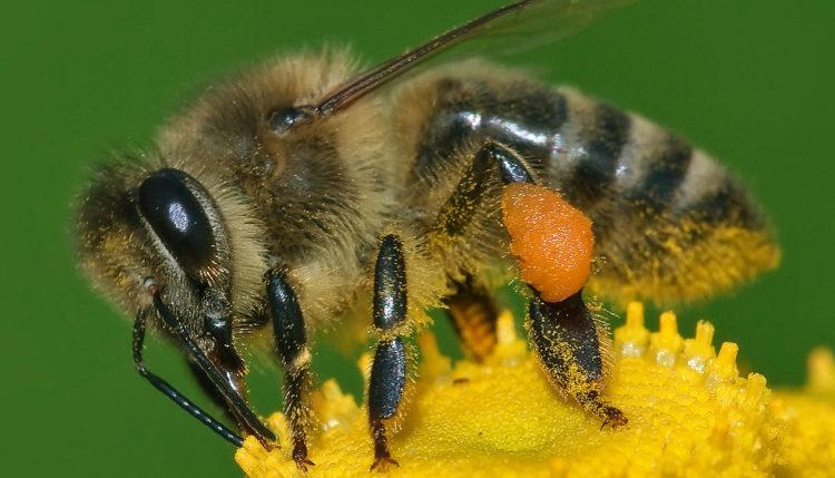 Čebele in število nič. Foto: Andreas Trepte/Wikipedia