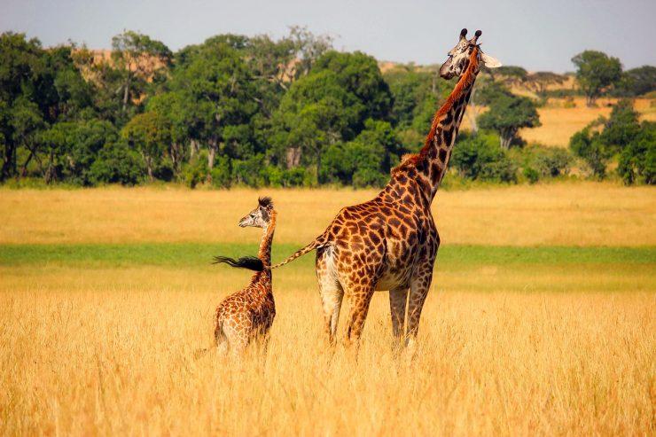 Zakaj imajo žirafe lise? Vir: PIxabay