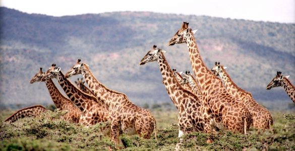 Why giraffes have spots? Credit: Pixabay