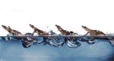 Kako hodi gekon po vodi? Vir: Pauline Jennings, PolyPEDAL Lab/Kalifornijska univerza