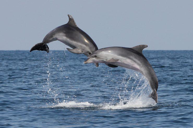 Dolphins from the Gulf of Trieste. Photo: Tilen Genov/Morigenos