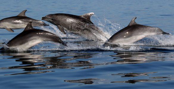 Jati delfinov v Tržaškem zalivu. Foto: Tilen Genov/Morigenos