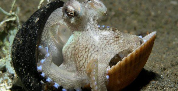 Bistroumne hobotnice. Vir: Wikimedia