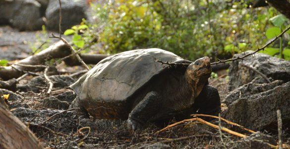 Fernandinska velika želva sodi med tri skoraj izumrle živali, ki so jih po dolgem času znova uzrli. Vir: Parque Nacional Galápagos