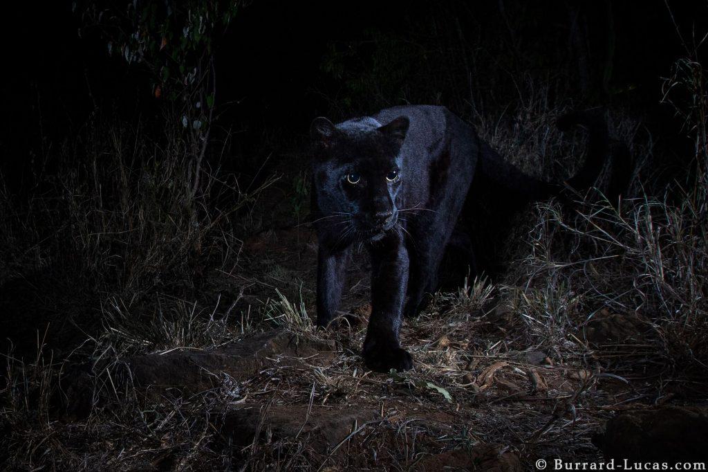 Fotografijo črnega leoparda je britanski fotograf posnel s posebno kamero (Camtraptions Camera Trap) v Laikipia Wilderness Campu v Keniji. Foto: Will Burrard-Lucas