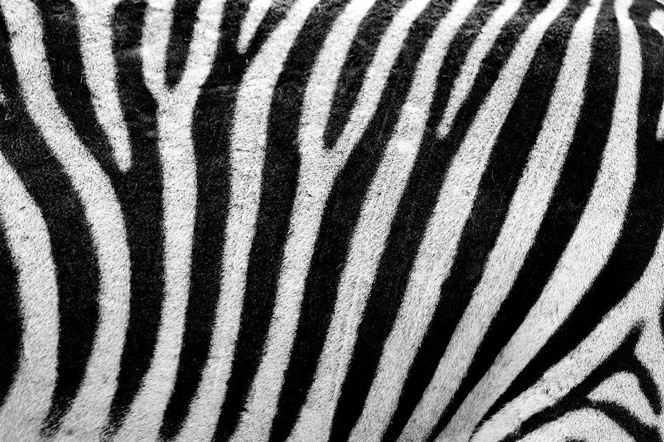 Proge na zebrinem kožuhu. Zakaj imajo zebre proge? Foto: Petr Kratochvil/PublicDomainPictures