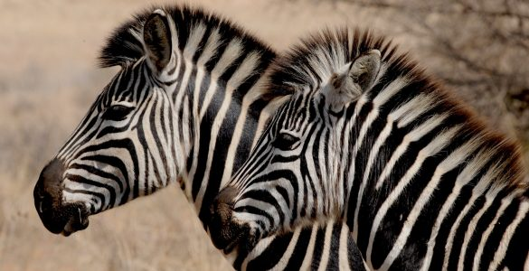 Zakaj imajo zebre proge? Vir: Pixabay