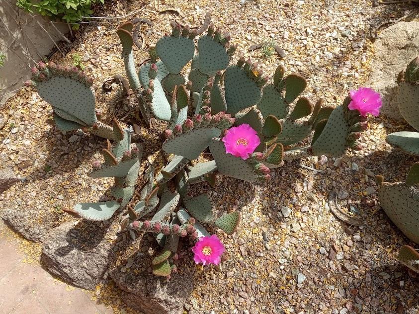 Cvetoč kaktus v Arizoni. Foto: Jelka Šutej Adamič