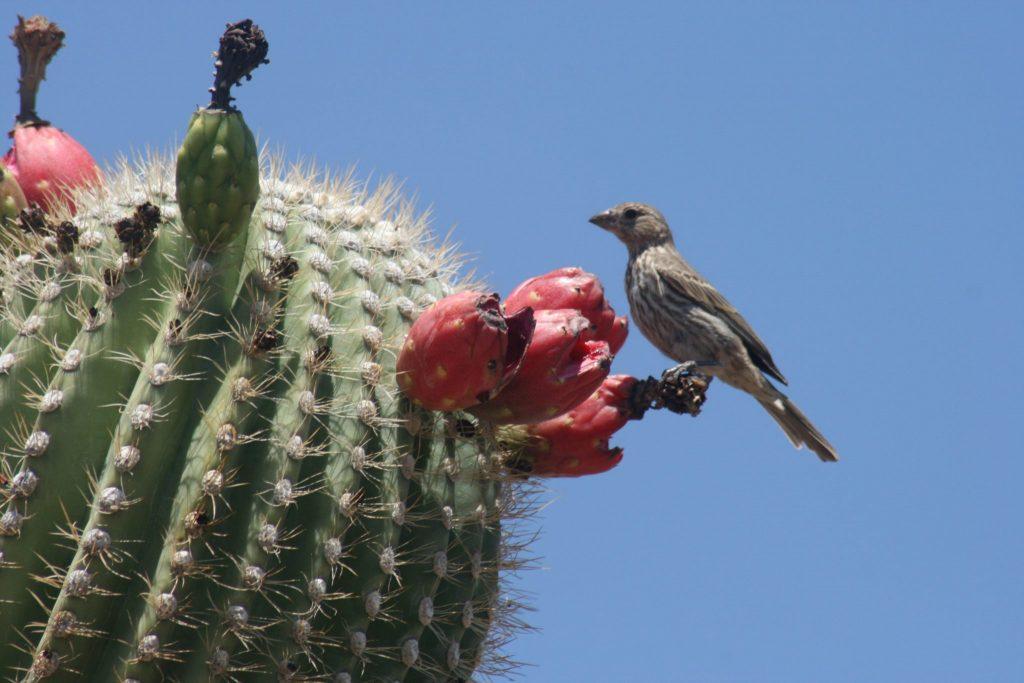 Kaktus saguaro. Foto in drugi kaktusi v Arizoni: Quinn Dombrowski/Flickr