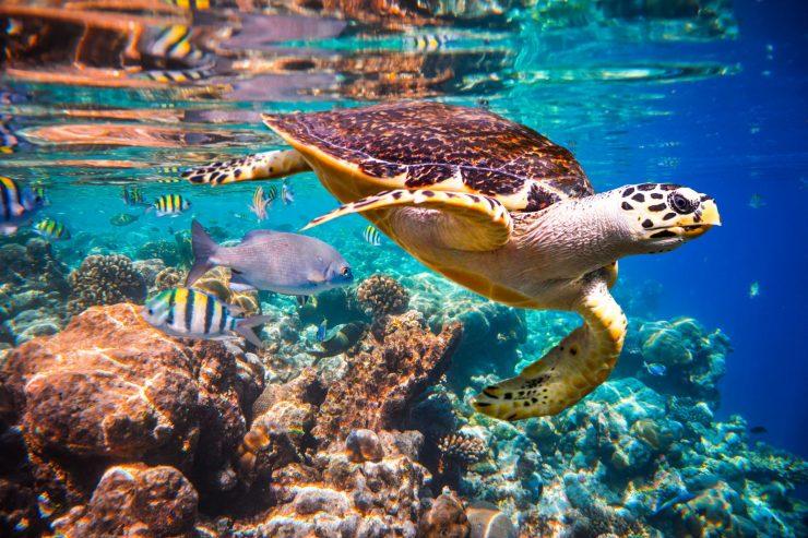 Prava kareta plava v bližini koralnega grebena na Maldviih. Vir: Adobe Stock