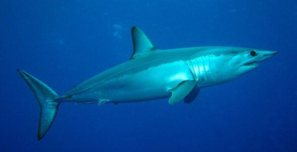 Morski pes vrste mako. Foto: Patrick Doll/Wikimedia