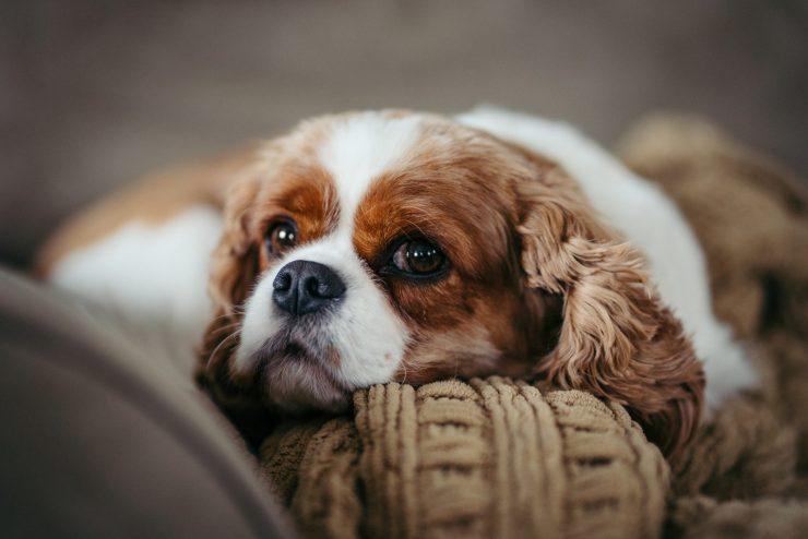 Zakaj so pasje oči žalostne. Foto: Adobe Stock