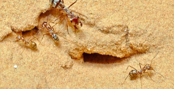 Saharske srebrne mravlje. Foto: Harald Wolf/Univerza v Ulmu