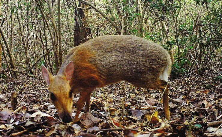 Vietnamska mišja srna. Vir: Global Wildlife Conservation