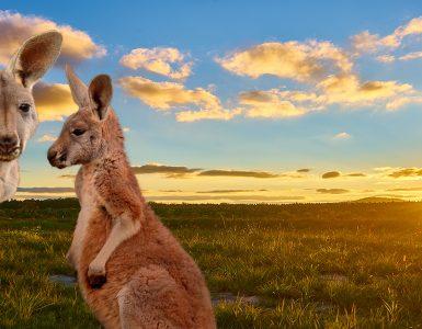 V požarih v Avstraliji so poginili tudi številni kenguruji in druge živali. Vir: Adobe Stock
