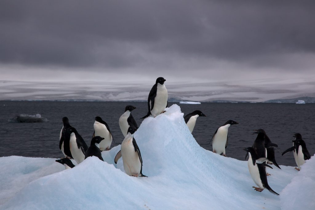 Najbolj značilni prebivalci Antarktike so različne vrste pingvinov. Vir: Wikipedia