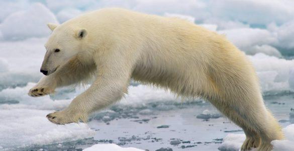 Polarnim medvedom zaradi segrevanja ozračja dobesedno zmanjkuje tal pod nogami. Vir: NPS Climate Change Response/Flickr