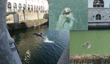 Delfini v Ljubljanici. Mar res? Vir: Facebook