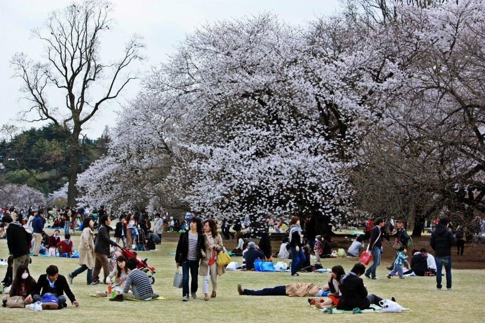 Lanski množični pikniki pod cvetočimi češnjami so samo še lep spomin. Zdaj na Japonskem velja omejitev druženja. Vir: Wikimedia Commons
