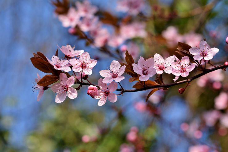 Letos bodo cvetoče češnje bolj osamljene kot sicer. Vir: Pixabay