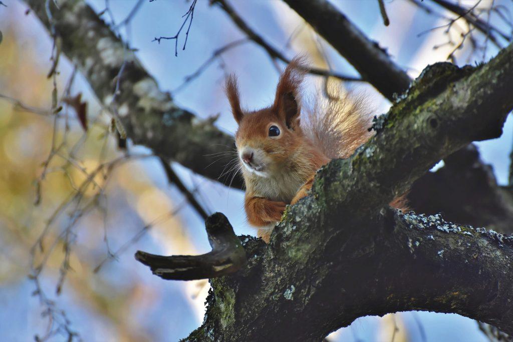 Veverica v gozdu. Vir: Pixabay