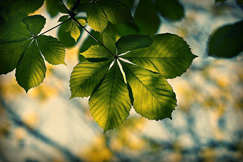 Listje kostanja. Vir: Pixabay