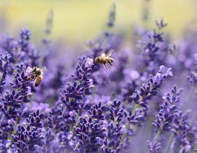 Čebele na sivki. Vir: Pixabay