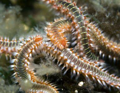 Ognjeni črvi so počasne živali na morskem dnu. Vir: Flickr
