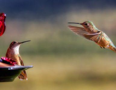 Kolibri, najmanjša ptica na svetu, rad obišče pitnik s sladkarno vodo