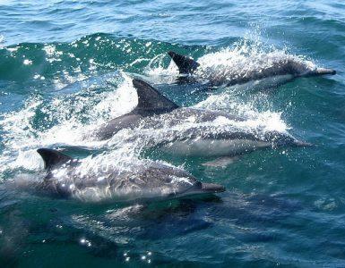 Igrivi delfini plavajo tik nad gladino. Vir: Pickpik