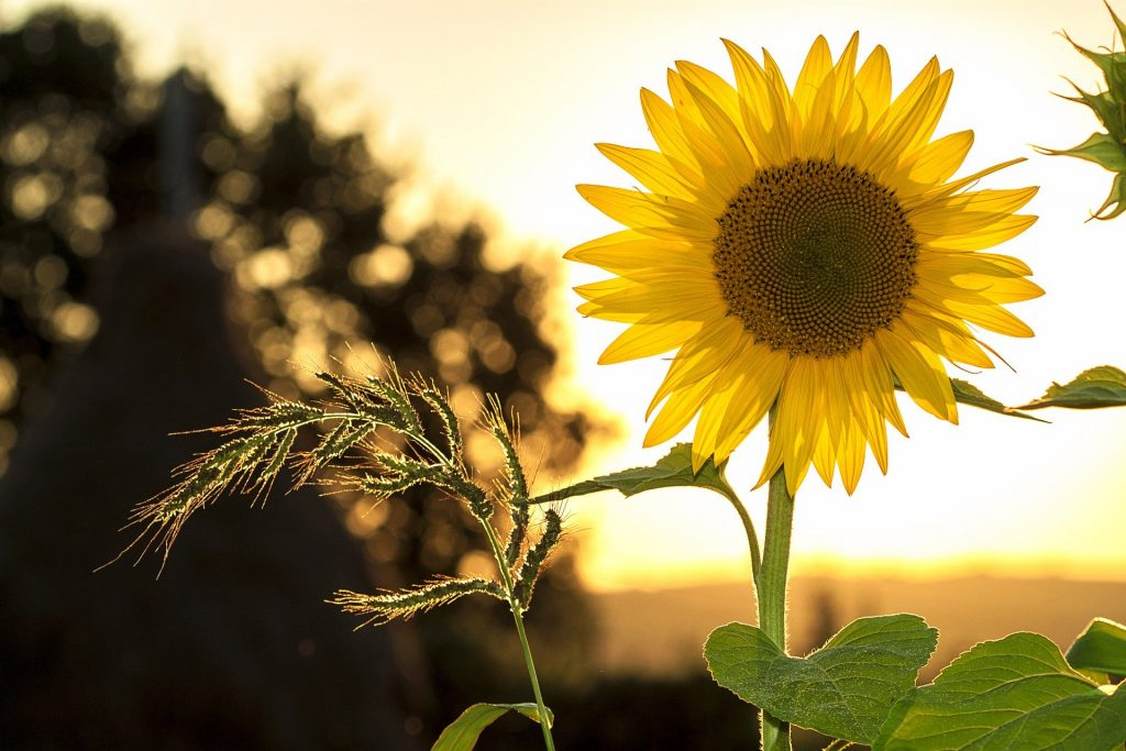 Sončnica. Vir: Pixabay