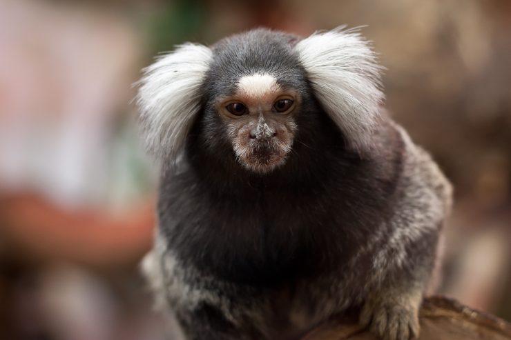 Bela lisa na čelu marmozetke je večja, če je v mladosti pogosteje slišala oglašanje svojih staršev. Vir: Flickr.com