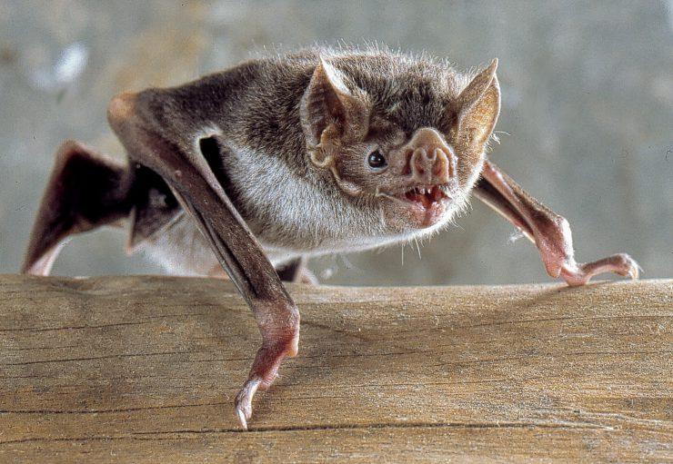 Navadni vampirski netopir (Desmodus rotundus) Vir: Wikipedia