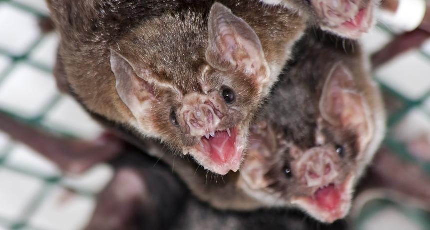 Če ne zbolijo, so vampirski netopirji zelo družabne živali. Vir: Wikipedia