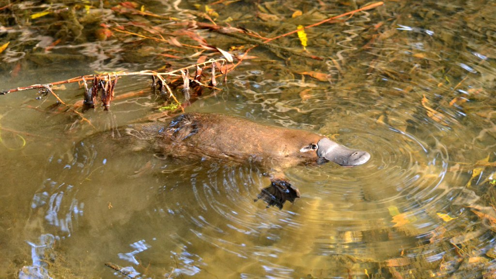 Zaradi dobre varovalne barve se ga v vodi težje opazi. Vir: Wikipedia