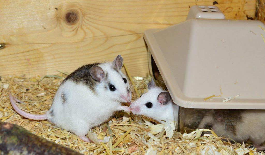1 mesec stara miška bi bila kot človek stara 14 let. Vir: Pixabay