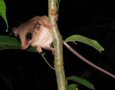 Marmosa je eden izmed sesalcev v Atlantskem gozdu. Vir: Flickr