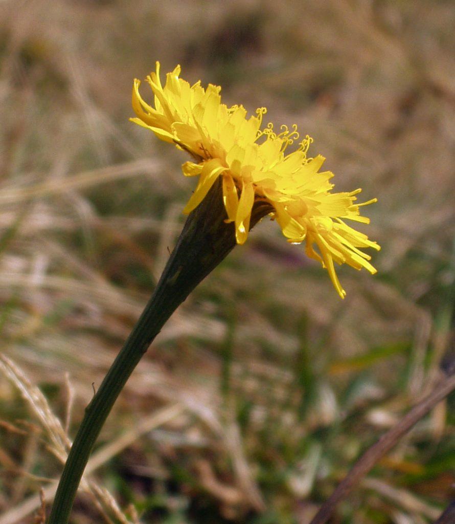 Švicarski otavčič je ena izmed rastlin, ki se bo s taljenjem ledenikov razširila. Vir: Wikipedia