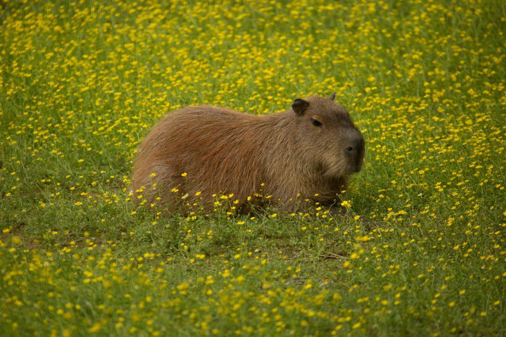 Kapibara Stinky. Vir: ZOO Ljubljana