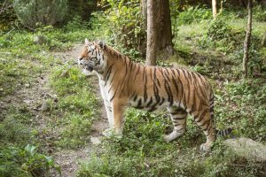 Sibirski tiger Vito. Vir: Zoo Ljubljana