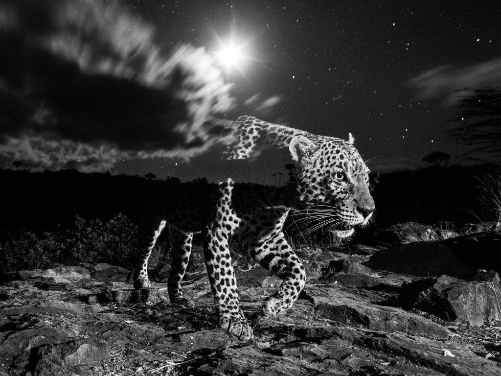 Leopard v temi. Foto: Will Burrard-Lucas.