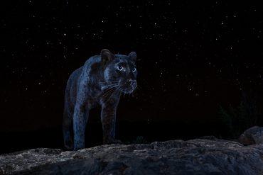 Črni leopard preži nad pokrajino pod seboj. Foto: Will Burrard-Lucas